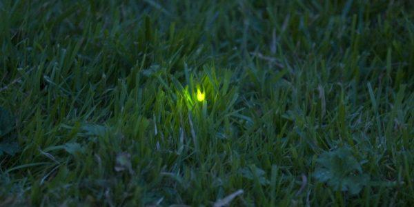 glow worm 1