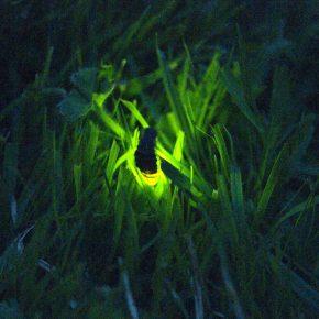 glow worm 3